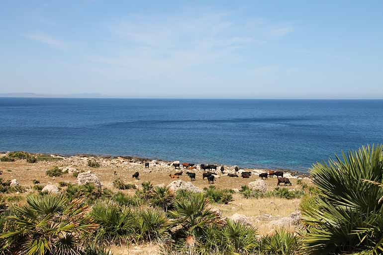 Travellers Insight Reiseblog Palermo Kuhherde