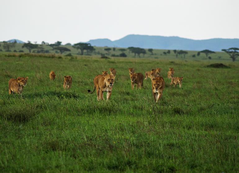 Tansania Safari Travellers Insight Reiseblog Löwen