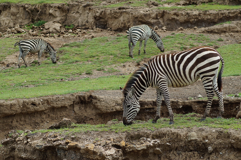 Tansania Safari Travellers Insight Reiseblog Zebras