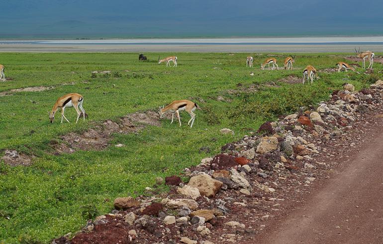 Tansania Safari Travellers Insight Reiseblog Gazellen