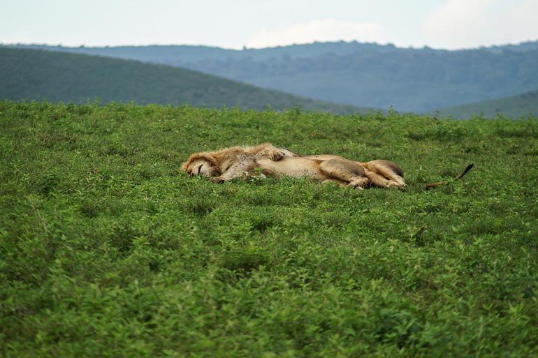 Tansania Safari Travellers Insight Reiseblog Löwen Ngorongoro Krater