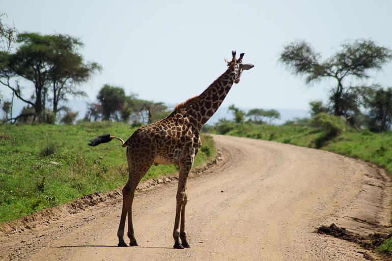 Tansania Safari Travellers Insight Reiseblog Giraffe
