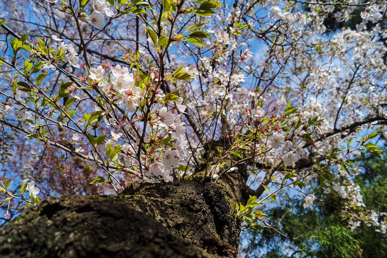 Travellers Insight Reiseblog Japan Tokio Kirschblüten