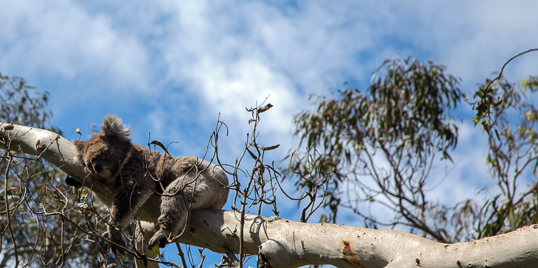 Travellers Insight Reiseblog Melbourne Phillip Island Koala
