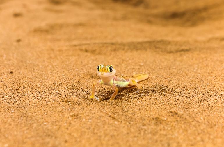 Travellers Insight Reiseblog Namibia Rundreise Little Five Namibgecko