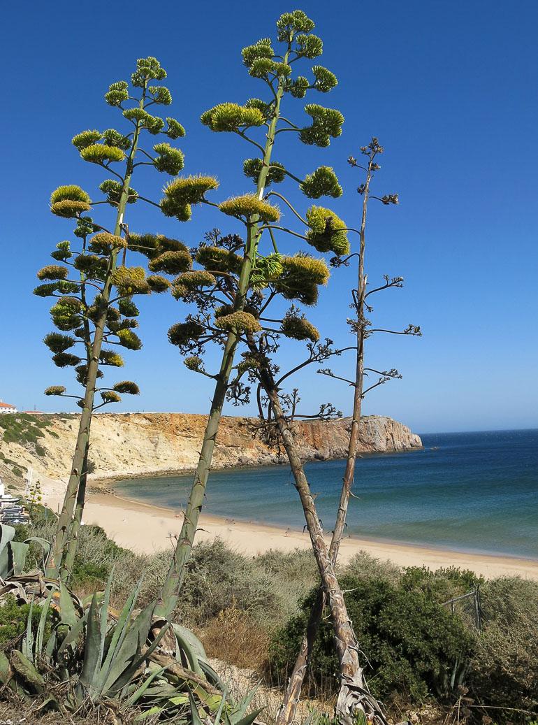 Travellers Insight Reiseblog Portugals Algarve Agaven