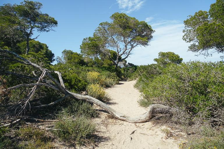 Travellers Insight Reiseblog Wandern auf Mallorca Pinienwald